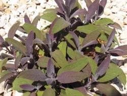 H6 S Purpursalbei BIO-Kräuterpflanze
