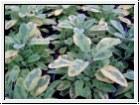BIO-Kräuterpflanze Goldsalbei