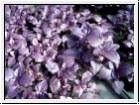 H3 BIO-Basilikum-Pflanze Rubin-Basilikum