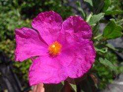 H4 Cistus Zistrose Sunset  BIO-Pflanze