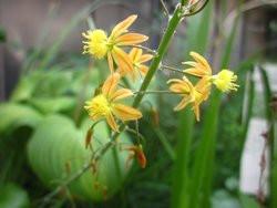 H11 Stelzen-Bulbine BIO-Pflanze