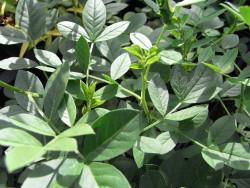 FL1/H4 Süßholz BIO Heilkräuter Pflanze
