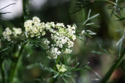FL1 Kümmel BIO Heil-Pflanze Arzneipflanze des Jahres 2016