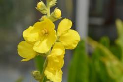 FL1 Königskerze BIO Heilkräuter-Pflanze
