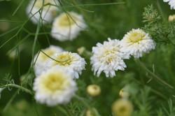 BIO Heilkräuter-Pflanze Römische Kamille gefülltblühend