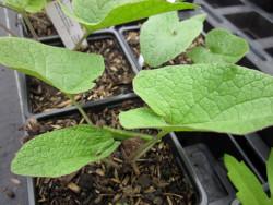 FL1 Große Klette BIO-Kräuter Pflanze