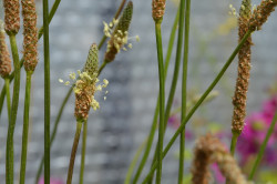 BIO-Kräuter-Pflanze Spitzwegerich