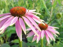 FL1 Roter Sonnenhut BIO-Pflanze