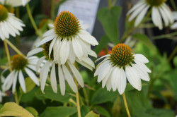 FL1 Sonnenhut Echinacea Weiß BIO Heilkräuter-Pflanze