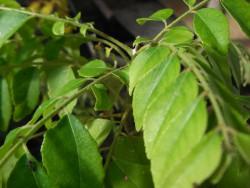 H11 Curryblatt  BIO Topfkräuterpflanze