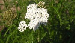 FL1 Schafgarbe Echte BIO Heilkräuter-Pflanze