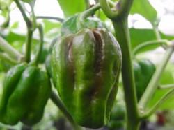 BIO-Samen Chili sehr scharf Habanero Schoko