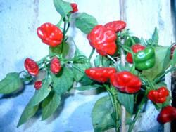 BIO-Samen C Chili mittelscharf Seestern-Chili