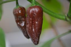 BIO-Samen Chili sehr scharf 7Pod Brown