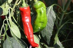 BIO-Pflanze NewMex Paprika spitz leicht scharf
