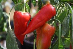 C BIO-Pflanze Paprika süß Ferenc Tender