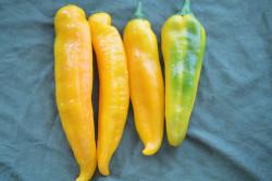 BIO-Pflanze Paprika süß Bullhorn gelb