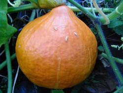 BIO-Pflanze Kürbis Hokkaido