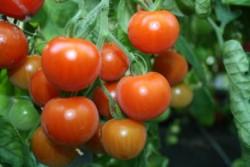 BIO-Samen Tomate Kirsch- Vessenij Mieurinskij
