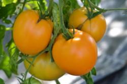 BIO-Pflanze Fleisch-Tomate Bulgarische Orange Alte Tomatensorte