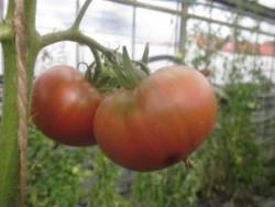 BIO-Pflanze Fleisch-Tomate Pantano Alte Tomatensorte