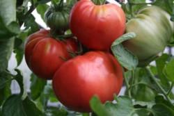 BIO-Pflanze Fleisch-Tomate Rosa Bulgarische Alte Tomatensorte