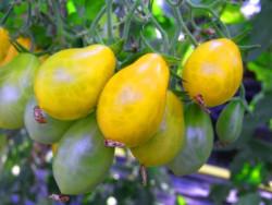 BIO-Pflanze Dattel-Tomaten Dattelwein BIO-Tomatenpflanze