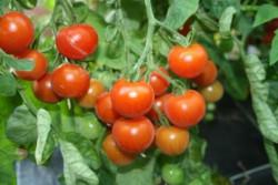 BIO-Pflanze Cocktail-Tomaten Vessenij Mieurinskij Alte Tomatesorte