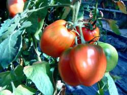 BIO-Pflanze Paprika-Tomate Striped Cavern Alte Tomatensorte