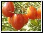 BIO-Pflanze Tomaten Olive- Teardrop Alte Tomatensorte