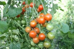 BIO-Pflanze Kirsch-Tomaten Peacewine Cherry Alte Tomatensorte