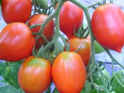 BIO-Pflanze Flaschen-Tomate Mini Britain's Breakfast Alte Tomatensorte