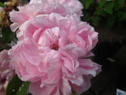 F2 BIO-Rose Jaques de Cartier