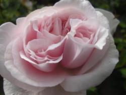F2 BIO-Rose Souvenir de la Malmaison