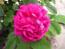 F2 BIO-Rose Rose de Resht