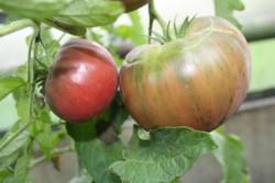 BIO-Samen Tomate Fleisch- Schwarze aus Tula