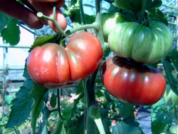 BIO-Samen Tomate Fleisch- Noire de Coseboeuf