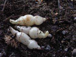 H11 Knollenziest BIO-Gemüsepflanze
