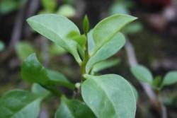 H11 Zimmerspinat BIO-Gemüsepflanze