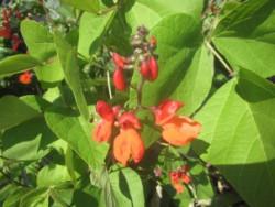 H6/11 Bohne Feuerbohne BIO-Pflanze