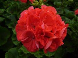 H5 BIO-Blumen Geranien stehend rot