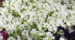 H5 BIO-Blumen Surfinia Petunien weiß