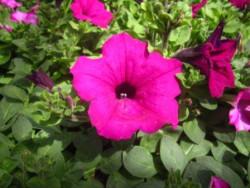 BIO-Blumen Surfinia Petunien margenta