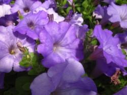 H5 BIO-Blumen Surfinia Petunien hellblau