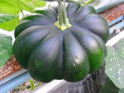 H6 Kürbis Musque de Provence BIO-Gemüse-Pflanze