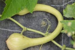 H6 Zucchini Tromba d'Albenga BIO-Pflanze