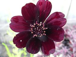 H5 BIO-Blumen Schokoladen-Cosmea