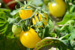 6er-Pack Tomate  Yellow Canary BIO-Tomatensämlinge