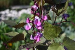 H6/11 Bohne Helmbohne BIO-Gemüse-Pflanze