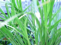 BIO-Kräuterpflanze Orangengras